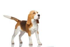 isolerad white för bakgrundsbeagle hund arkivbild
