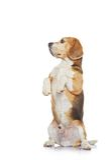 isolerad white för bakgrundsbeagle hund Royaltyfri Bild