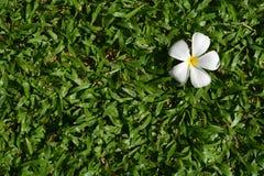 isolerad white för bakgrundsblomma gräs Royaltyfria Bilder
