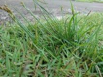 isolerad white för bakgrundsblomma gräs Royaltyfri Bild