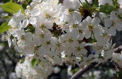 isolerad white för bakgrundsfilialCherry blomning Arkivbild