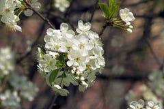 isolerad white för bakgrundsfilialCherry blomning Royaltyfria Bilder