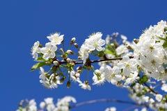 isolerad white för bakgrundsfilialCherry blomning Arkivfoton