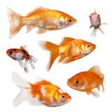 isolerad white för bakgrundsfisk guld Arkivfoton