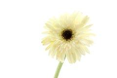 isolerad white för bakgrundskosmos blomma Royaltyfria Foton