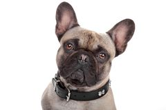isolerad white för bulldogg fransman Royaltyfri Bild
