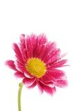 isolerad white för chrysanthemum blomma arkivfoto
