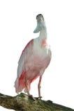 isolerad white för roseate spoonbill Royaltyfri Bild
