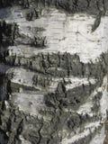 isolerad white för skäll björk Royaltyfri Bild