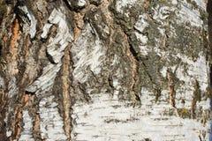 isolerad white för skäll björk Arkivfoto