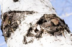 isolerad white för skäll björk barkeeperen Träd blå sky Stycken av himlen Träskäll E Natur r royaltyfria bilder