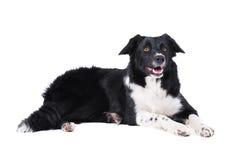 isolerad white för svart hund royaltyfri foto