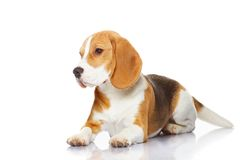 isolerad white för bakgrundsbeagle hund Royaltyfri Foto