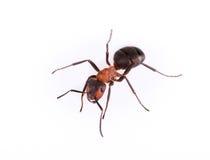 isolerad white för myra bakgrund Arkivbild