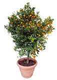isolerad white för orange tree Arkivfoton
