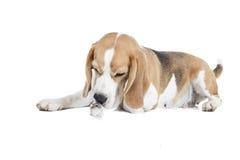Isolerade beagle och hamster Arkivbild