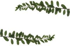 Isolerade blad Royaltyfria Bilder