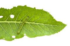Isolerade blad och larv Arkivfoto