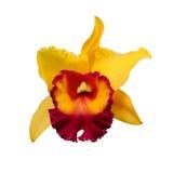 Isolerade blandade färger av den gula röda orkidén blommar - Cattleya Royaltyfria Foton