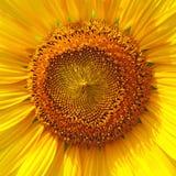 isolerade blommor sun white Arkivfoton