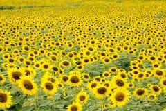 isolerade blommor sun white Arkivbild