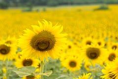 isolerade blommor sun white Fotografering för Bildbyråer