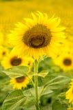 isolerade blommor sun white Royaltyfri Bild