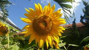 isolerade blommor sun white Arkivfoto