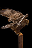 isolerade Buse-lade benen på ryggen hök outstetched vingar Royaltyfria Foton