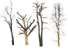 Isolerade döda träd på den vita bakgrunden royaltyfria foton