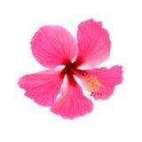 isolerade den clean gråa hibiskusen för bakgrund ingen rosa ren white Royaltyfria Foton