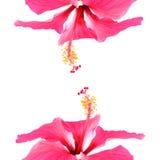 isolerade den clean gråa hibiskusen för bakgrund ingen rosa ren white Royaltyfri Fotografi