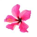 isolerade den clean gråa hibiskusen för bakgrund ingen rosa ren white Arkivbilder
