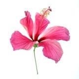 isolerade den clean gråa hibiskusen för bakgrund ingen rosa ren white Royaltyfri Foto