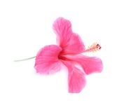 isolerade den clean gråa hibiskusen för bakgrund ingen rosa ren white Royaltyfri Bild