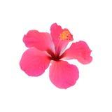 isolerade den clean gråa hibiskusen för bakgrund ingen rosa ren white Arkivbild