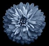 Isolerade den ljusa blåttblomman för krysantemumet på svarten bakgrund med den snabba banan Closeup inga skuggor Trädgårds- blomm Arkivbilder