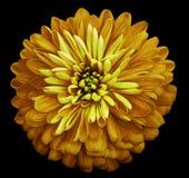 Isolerade den ljusa gula blomman för krysantemumet på svarten bakgrund med den snabba banan Closeup inga skuggor Trädgårds- blomm Royaltyfria Bilder