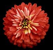 Isolerade den ljusa röda blomman för krysantemumet på svarten bakgrund med den snabba banan Closeup inga skuggor Trädgårds- blomm Arkivfoto