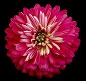 Isolerade den ljusa rosa färgblomman för krysantemumet på svarten bakgrund med den snabba banan Closeup inga skuggor Trädgårds- b Arkivfoton