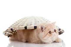 Isolerade den persiska exotiska kattungen för katten under korg husdjuret Fotografering för Bildbyråer