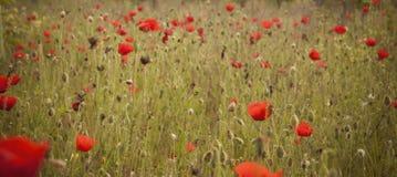 isolerade den stora dekorativa blommaträdgården för bakgrund vallmowhite Arkivbilder