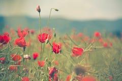 isolerade den stora dekorativa blommaträdgården för bakgrund vallmowhite Royaltyfri Fotografi