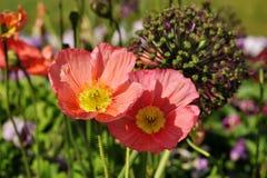 isolerade den stora dekorativa blommaträdgården för bakgrund vallmowhite Arkivfoton
