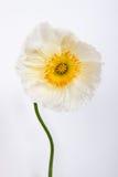 isolerade den stora dekorativa blommaträdgården för bakgrund vallmowhite Royaltyfria Bilder
