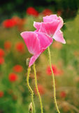 isolerade den stora dekorativa blommaträdgården för bakgrund vallmowhite Royaltyfria Foton