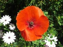 isolerade den stora dekorativa blommaträdgården för bakgrund vallmowhite Arkivfoto