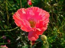 isolerade den stora dekorativa blommaträdgården för bakgrund vallmowhite Royaltyfri Foto