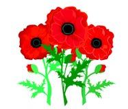 isolerade den stora dekorativa blommaträdgården för bakgrund vallmowhite Röda vallmor som isoleras på vitbakgrund vektor illustrationer