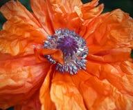 isolerade den stora dekorativa blommaträdgården för bakgrund vallmowhite Scharlakansröda kronblad som seglar Arkivfoto